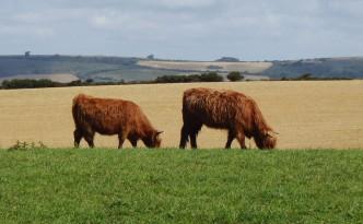 La faune locale... Poilues, ces vaches !